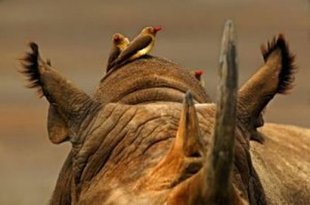 oxpecker and rhino symbiotic relationship examples